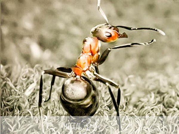Рыжие муравьи на кухне